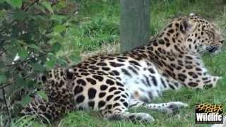 WHF Amur Leopard Cubs 2012 - getting brave at 7 weeks old
