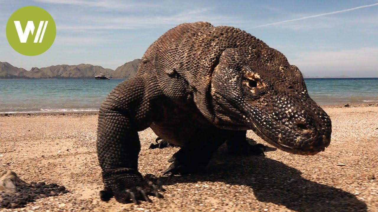Download Komodowaran: Der 4 Millionen Jahre alte Drache aus Indonesien
