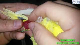 Muhabbet Kuşu Yumurta Sıkışmasına Müdahale Canlı Canlı Doğum Anı.budgerigar moment of birth