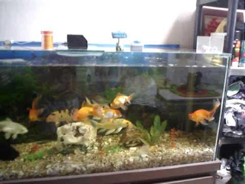 Aqu rio de carpas e kinguios 450 litros youtube for Comida para carpas koi