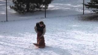 Barkley (golden Retriever) Boot Camp Dog Training Minnesota