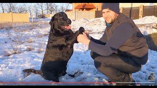 ПРЕДАННЫЙ Лабрадор БАЛУ.DEVOTED Labrador Balu. Odessa.