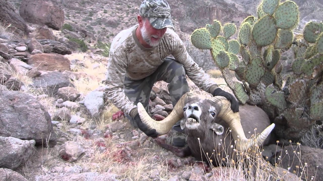 Ram Big Horn >> Arizona Desert Bighorn Sheep Hunt Video-Bob O'Connor Ram with Colburn and Scott Outfitters - YouTube