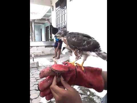 Download 840 Gambar Elang Cg Keren