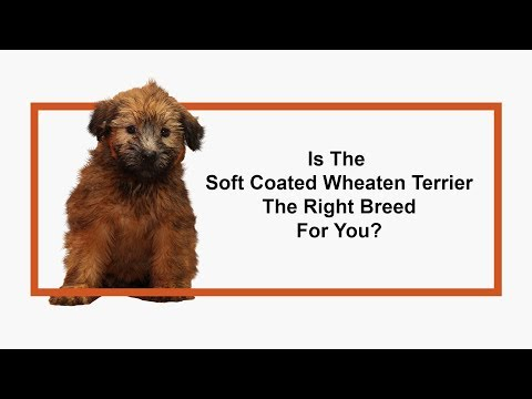 Everything you need to know about Soft Coated Wheaten Terrier puppies! (2019)