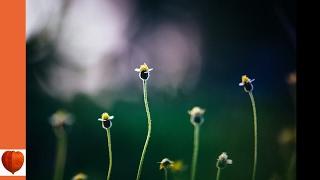 The Flower Garden 13-Bulbous and Tuberous-Rooted Plants by Ida Dandridge Bennett (audiobook)