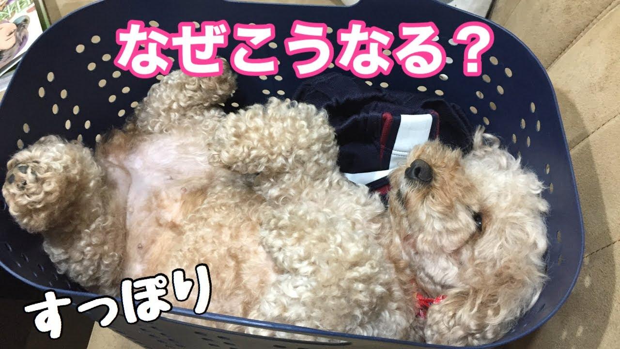 カゴにジャストフィットで寝る犬 トイプードル /マルプー