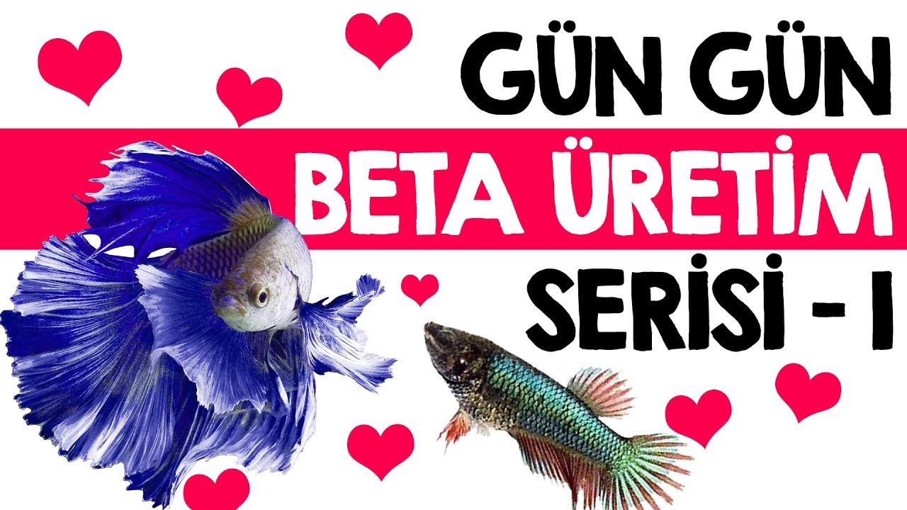 Beta balıklarının üretimi