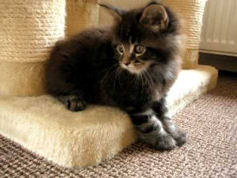 kittens quick maine coon 6,5 weeks - YouTube