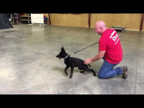 """Black German Shepherd Female """"Adelaide"""" 16 Wks Protection Training Dog For Sale"""