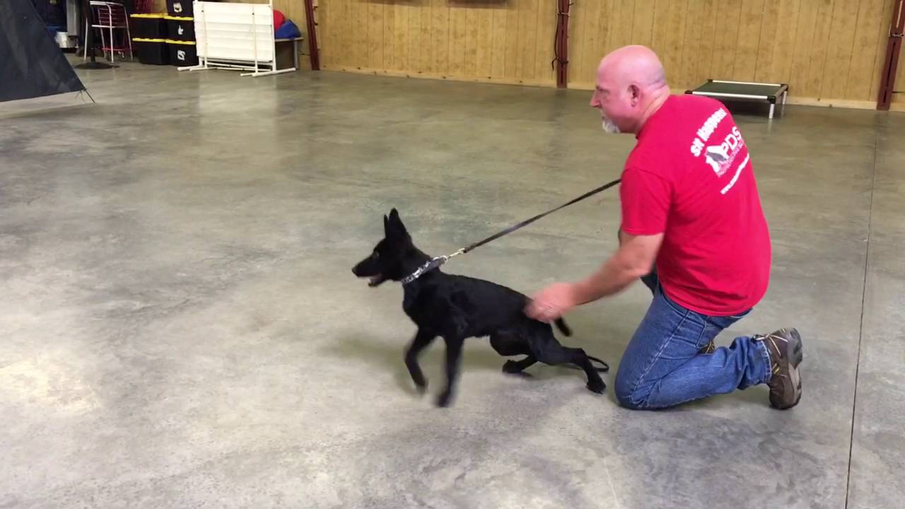 german shepherd protection training black german shepherd female quot adelaide quot 16 wks protection 699