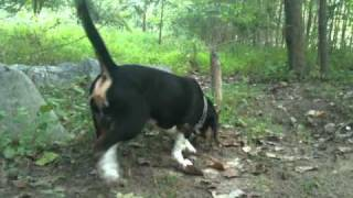 Tiber The Beagle Scent Tracking