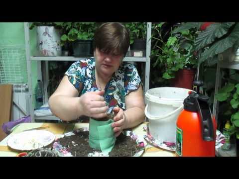 Юлия мегяева перец выращиванте