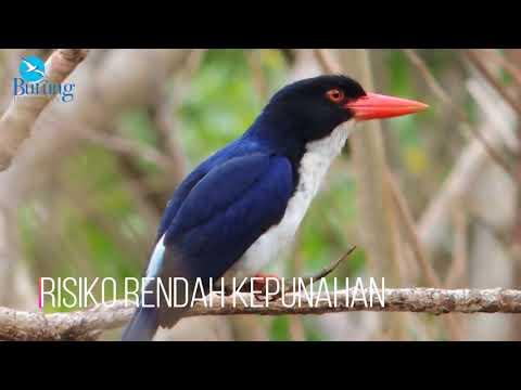 Sekilas Burung: Cekakak tunggir putih