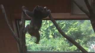 いつも寝ているコアラですが猿のように飛び跳ねています。 This is the ...