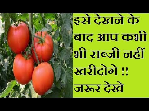 Grow Tomato vegetables at home in pots ( secret of growing vegetables)