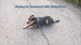 9 Month Old Blue Heeler, Cooper; Off Leash K9 Training Indianapolis