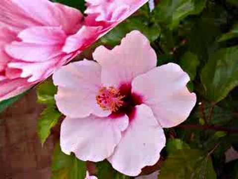 Hibiscus - The Garden Varieties