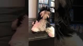 Shih Tzu Puppy Attempts His First Howl.