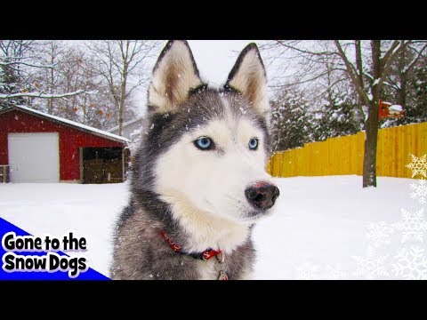 Snow! Siberian Husky Dog plays in the SNOW! We finally got our storm! Snow Dogs