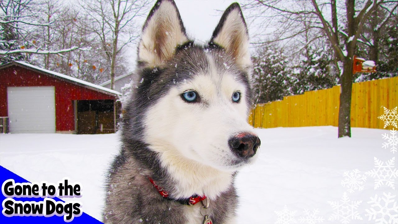 Siberian Husky Plays In Deep Snow Snow Dogs In The Snow Storm Youtube