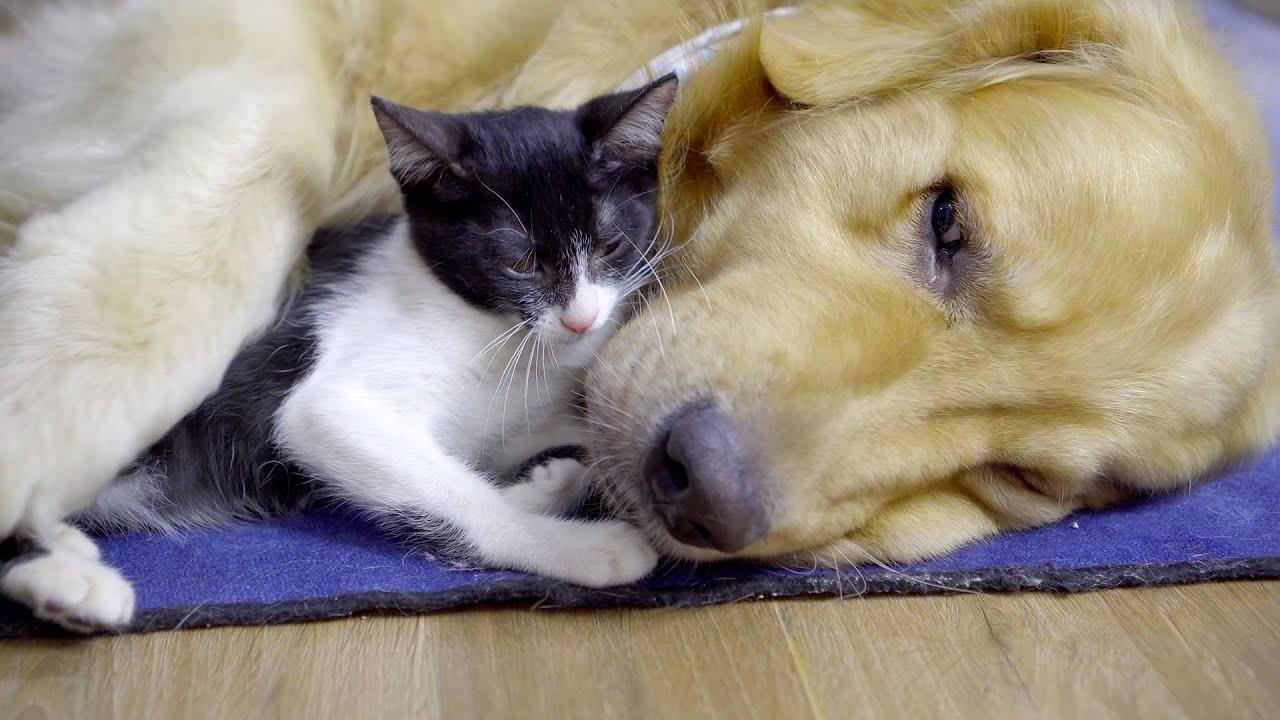 保護子猫に起こされて人間のようなことをしたゴールデンレトリバー・一瞬トビ君は人間かと思っていました
