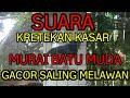 Suara Kretekan Kasar Dan Keras Murai Batu Muda Fighter Saling Melawan  Mp3 - Mp4 Download