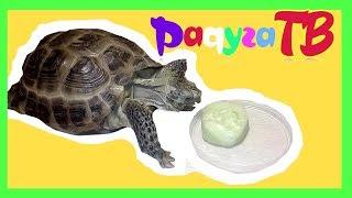 Что любят есть черепахи   среднеазиатская сухопутная черепаха ест огурец