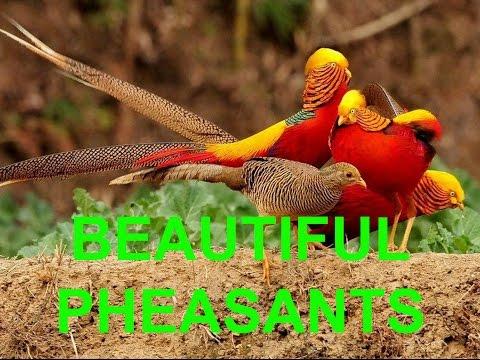 Chinese Golden Pheasants and White Pheasant | Beautiful Birds