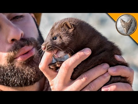 Thumbnail: Nippy Little Mink!