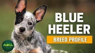 Blue Heeler Dogs 101 | The Australian Cattle Dogs 101