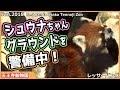 レッサーパンダ シュウナちゃん グラウンド 警備中! 天王寺動物園 Red panda Osaka Tennoji Zoo