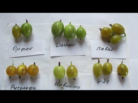 Обзор сортов крыжовника с ягодой желтого и зеленого цвета. Купить саженцы в Минске и почтой
