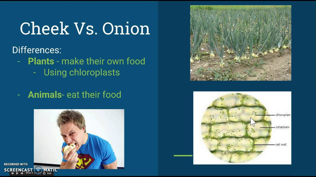 3 2 Comparing Cheek And Onion Cells