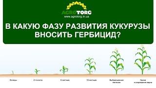 В какую фазу развития кукурузы вносить гербициды?
