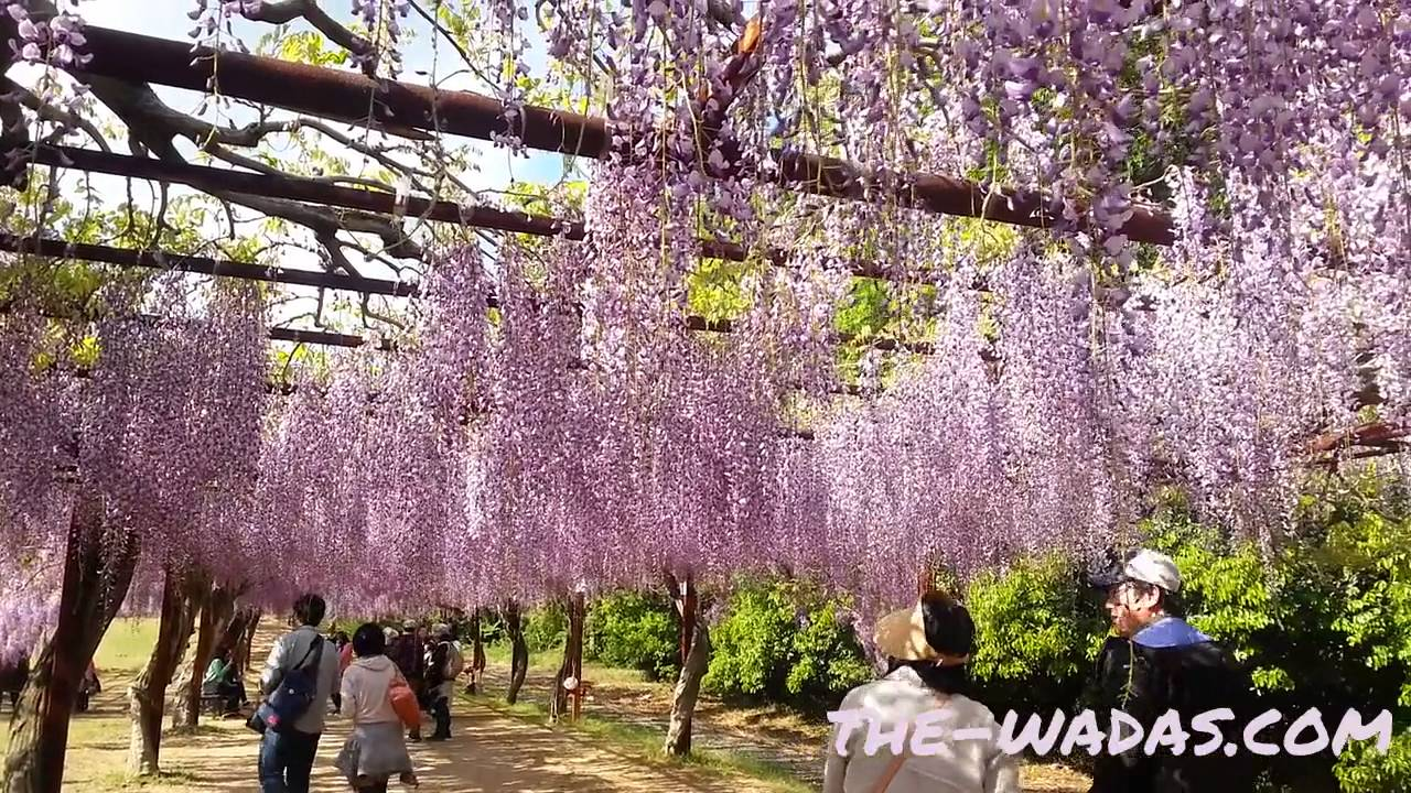 fuji park wisteria flower festival wisteria tunnel youtube