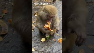 Bon Appetit! Smart monkey peels a tangerine and spits out the seeds. 🐒🍊
