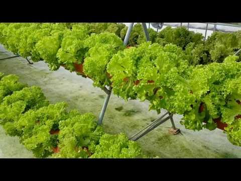 Выращивание салата лолло бионда методом аэропоники