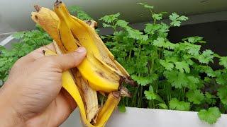 Apenas 3 cascas de banana no coentro(veja o resultado)