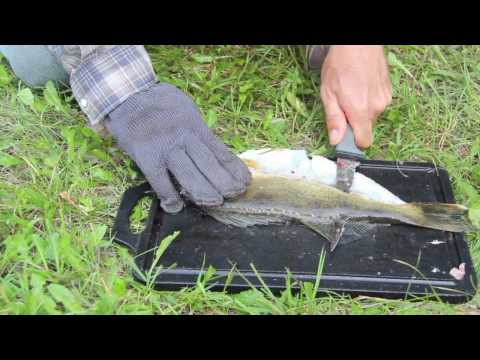 How to clean or fillet a walleye in less than 2 minutes