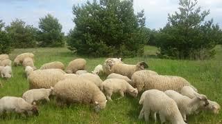 Работа бордер колли на выпасе овец. 2 молодые собаки. Без команд