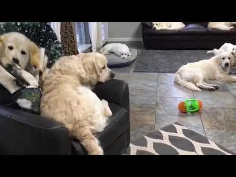Dogs confused by dog s on blanket.  981808