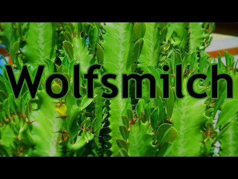 Die dreikantige wolfsmilch euphorbia trigona youtube - Wolfsmilch zimmerpflanze ...