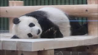 98%寝てるパンダ 2021年7月23日