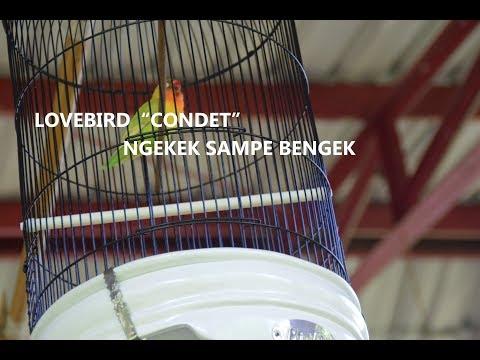 LOVEBIRD CONDET KONGSLET MAJU MUNDUR NGEKEK SAMPAI BENGEK