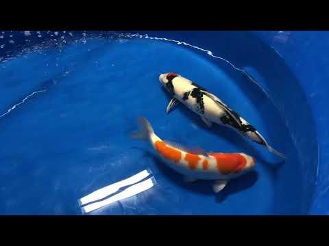Atlanta Koi And Goldfish Show 2018 - Water Pigs USA