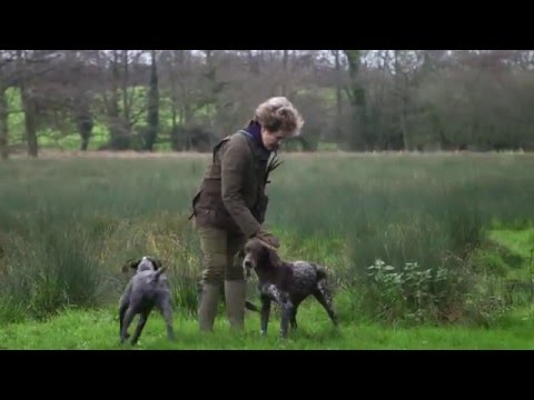 German Shorthaired Pointers picking up at driven shoot