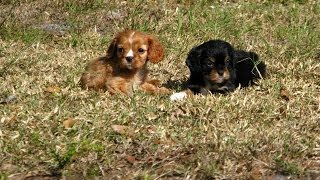 Cavalier King Charles Spaniel, Puppies, For, Sale, In El, Paso, Texas, Tx, Temple, County, La, Porte