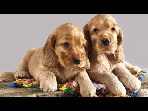 Cocker Spaniel Puppies For Sale At PetsYouLike