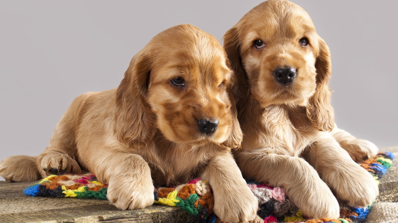 Cocker Spaniel Puppies For Sale At Petsyoulike Youtube
